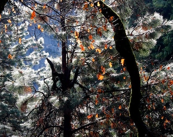 Fall Colors in a Winter Woodland in Yosemite National Park