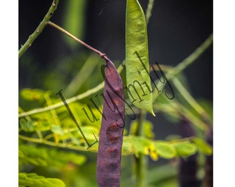 Seed Pods Photograph