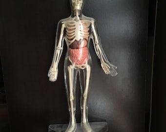 Anatomical man clear plastic display model