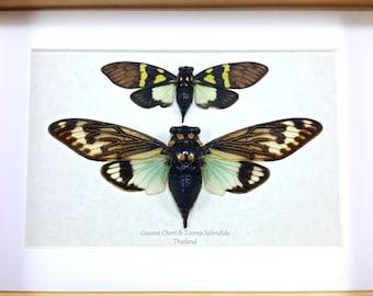 Framed Tosena splendida Turquoise Cicada and Gaeana cheni Taxidermy A1 #73