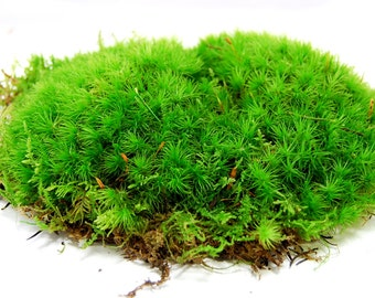 Live Moss, Cushion Moss, Terrarium Moss, Vivarium, Miniature Garden Or  Craft Projects