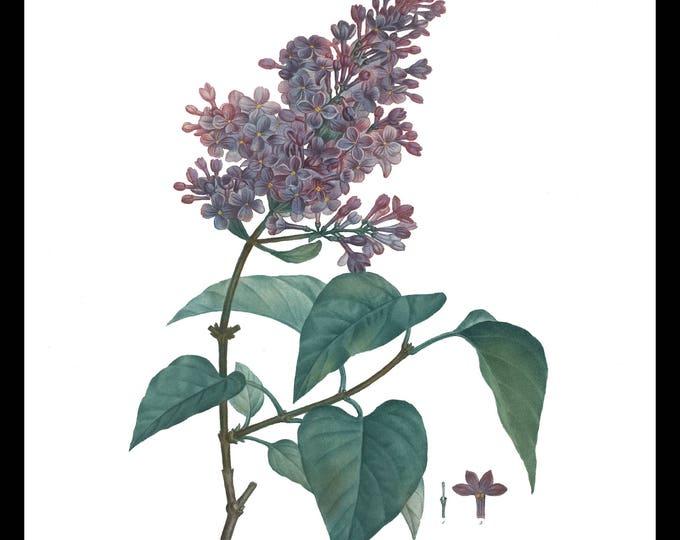 Lilac Prints, Set of 3, Botanical Print Set, Botanical Set of 3, Spring, Lilac, Plant, Instant Download, Garden, Downloadable Prints