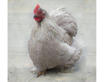 Chicken photography, Bird print, Hen wall art, Farm animal photography, Fine art print, Farmyard art wall decor, Kitchen decor