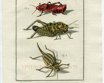 Grasshoppers Crickets Insects Hand Painted 1740 Antique Print. Original Grasshopper Print. Insect Decor Print. Entomology Watercolor Print