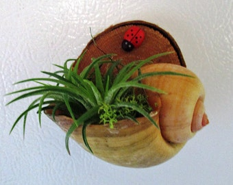 Air Plant Refrigerator Magnet in Shell on Birch Wood-Cute Gift!