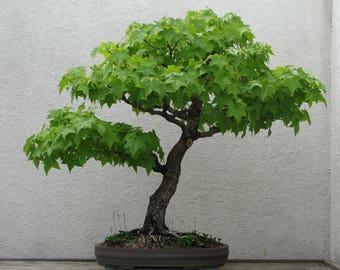 Bonsai - SWEET GUM (Liquidambar Styraciflua) 5 seeds