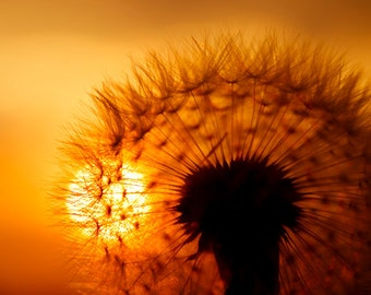 Dandelion photo Digital Download Fine Art Photography dandelion seeds Make a wish dandelion against sunset sky