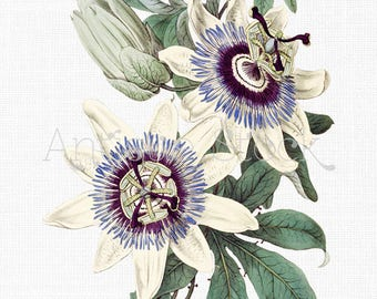 Vintage Flower Clipart 'Blue Passion Flower' PNG and JPG Images Digital Download for Collages, Prints, Invitations, Crafts...