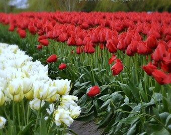 FIELD of RED TULIPS ~ Flower Photography ~ Botanical Wall Art ~ Nature Fine Art Photography ~ Tulip Festival ~ Red and white flowers