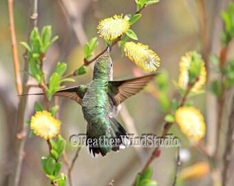 Ruby Throated Hummingbird Flight Photography | Spring Nature Photo | Pussy Willow | Flower Home Decor | Green Yellow Hummer Green Bird Print