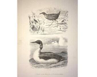 1787 ANTIQUE WATER BIRDS print original antique ornithology engraving - shore birds