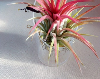 Oh, it's so cute! Ionantha air plant in little acrylic cloche