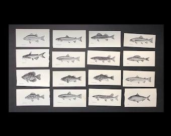 c. 1963 - FRESH WATER FISH prints - original vintage prints - fishing print - sport fishing - trout salmon bass pike - set of 16 fish prints