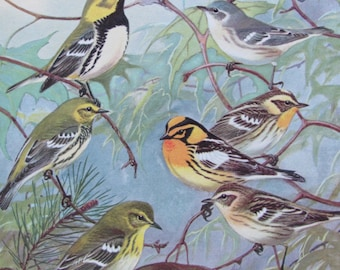 Wood Warblers, 1968 Vintage Book Plate, Book Page, Bird Print, North American Species