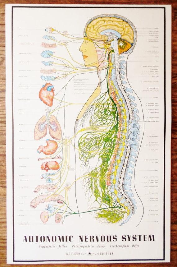 Jahrgang 1957 vegetative Nervensystem Diagramm / Anatomie