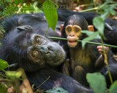 Baby Chimpanzee Playing w...