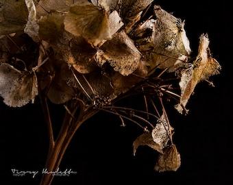 "Hydrangea 16 x 12"" (40.64 x 30.4 cm) Photographic Fine Art Print - Unframed"