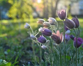 digital print - golden hour | fluffy tulip