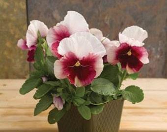PBV)~BEACON ROSE Viola~Seeds!!!~~~~~~Low Maintenance!