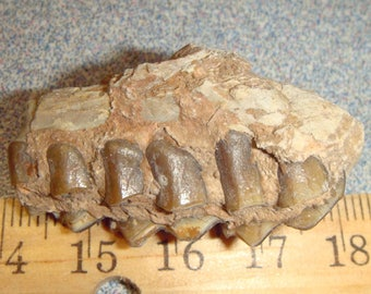 Amazing Deer Jaw Bone
