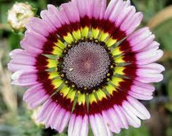 BULK Seeds, Painted Daisy, Colorful Flower Mix, Tricolor, Flower 250 Seeds