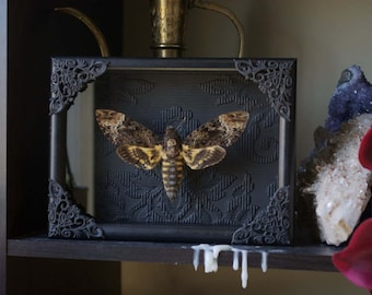 Death's Head Moth - Glass Shadow Frame Display - Museum Natural History Insect Bug Art