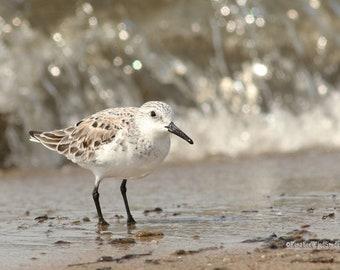 Sanderling Photo | Shorebird Photograph | Summer Decor | Peep | Bird Watcher Gift | Beach Wall Art | FeatherWindStudio | Waterbird Art Print