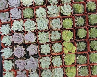 Collection of 20 succulents