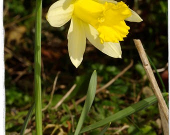 Narcissus pseudonarcissus 'Wild Daffodil' [Ex. North Yorkshire, England] 50 SEEDS