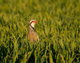 Wildlife Photographic signed mounted A4/A3 Prints of a Red-Legged Partridge
