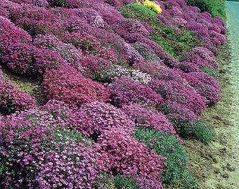 Aubrieta Rock Cress Cascading Mix/Hybrida Superbissima/Perennial   50+
