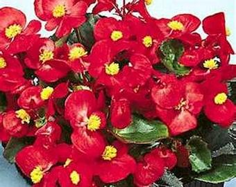 Begonia- Semperflorens- Red- 50 Seeds