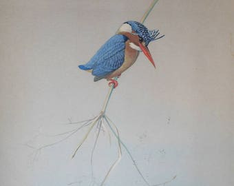 vintage bird print by louis agassiz fuertes pigmy kingfisher from field museum
