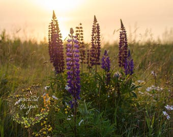 "5x7 Matted Fine Art Photography Print: ""Lupines at the Golden Hour"""