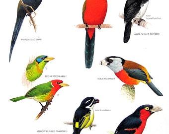 Vintage Bird Print - Paradise Jacamar, White Necked Puffbird, Red Headed Barbet, Yellow Rumped Tinkerbird - 1990 Vintage Book Page - 11 x 9