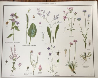 VINTAGE Wall Chart, School Poster, Misc 4, Harebell, Heather, Sea Lavender, Educational Print, Nature Study, Wildflowers, Flowers