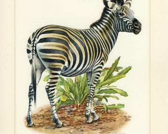 Vintage lithograph of the Chapman's zebra from 1956