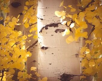 Aspen trees decor, Colorado art, fall photo, yellow gold leaf art, cabin decor, rustic wall art, fall art, aspen tree art | Brilliant Aspens