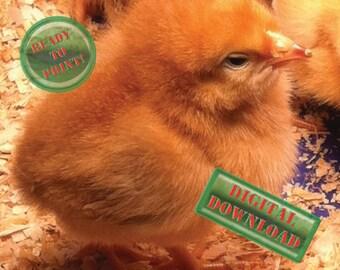 Fuzzy Yellow Chick Photograph Fluffy Baby Farm Chicken Digital File