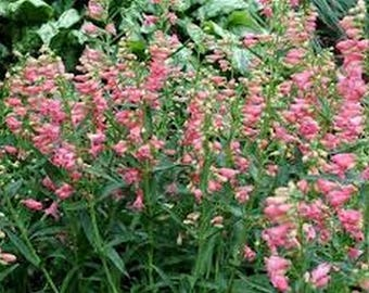 Penstemon- Pink- 50 Seeds