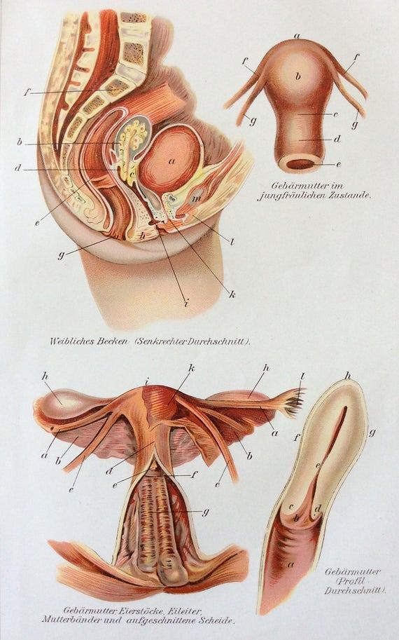Jahrgang 1905 Gebärmutter deutsche Medizin Anatomie Diagramm