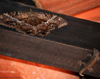 Black Witch Moth and House Gecko Hunter - Canvas, Ready to Hang - Lizard Nature Wildlife Animal Predator Prey Insect Herp Brown Red Photo