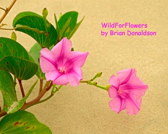Pink Morning Glory Flowers Art Photography Wildflowers