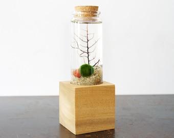 Marimo Moss Ball Pedestal Terrarium