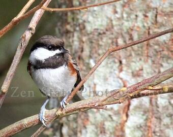 Chickadee Photo. Bird Watching Wall Art. Bird Photography Print. Bird Photo Print, Framed Photography, or Canvas Print. Home Decor.