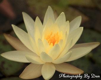 Love And Light Lotus Photograph Botanical Art Print Lotus Print, Flower Photo, Peaceful Wall Art