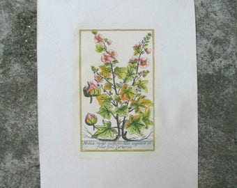Antique French Botanical Print Hand Coloured