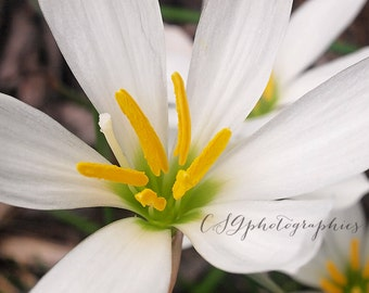 white rain lilly - white lilly - fine art photographic print