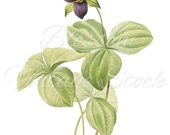 Botanical Antique Illustration, Blue Flower Vintage Graphic for Print, Digital Image, Clipart INSTANT DOWNLOAD - 1071