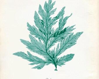"Vintage Green Sage Sea Weed ""Delesseria"" Print 8x10 P276"
